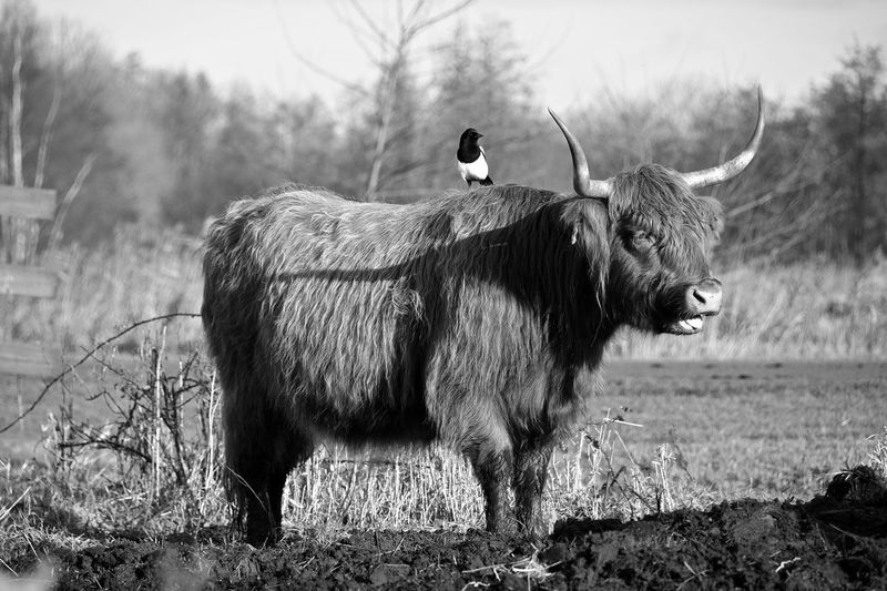 Magpie Perching On Highland Cattle