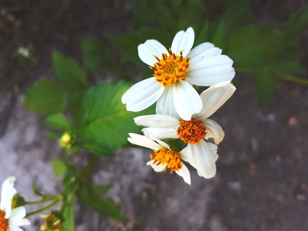 Flower Fragility Flower Head White Color Petal Nature Close-up Beauty In Nature Closing No People Pollen Day Outdoors Plant Freshness Springtime