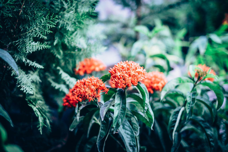 Beauty In Nature Close-up Day Dwarf Flower Fragility Fragrant Freshness Green Color Growth Herbal Medicine Herbal Plant Ixora Leaf Nature No People Orange Ornamental Outdoors Plant Red Santan Shrub Tree EyeEmNewHere