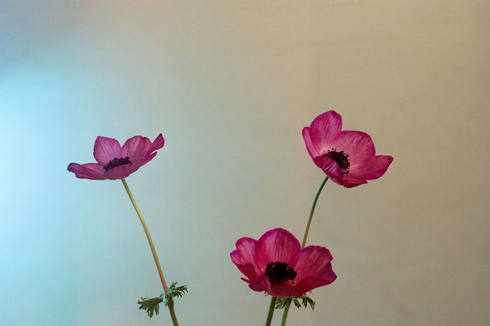 Color Photography Flower Collection Poppies  Strange Effect