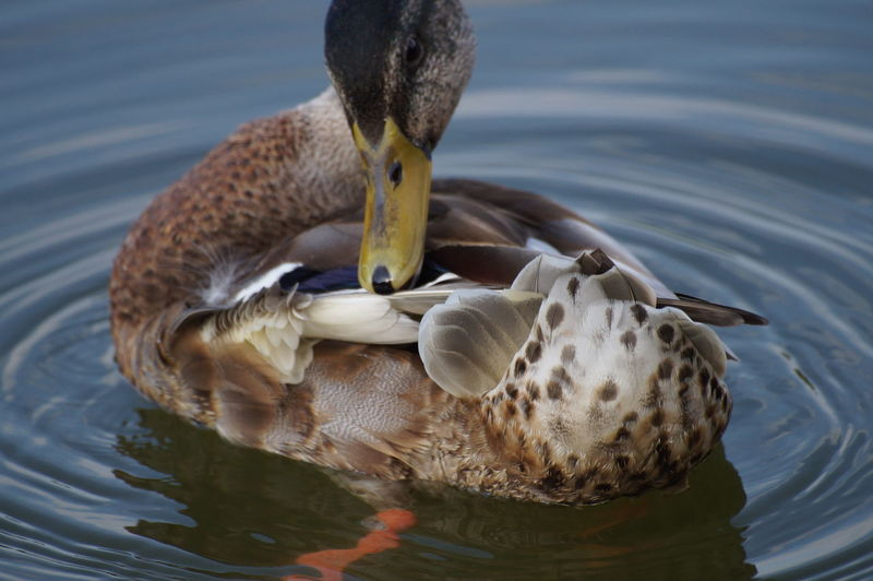 Close-up of a preening duck