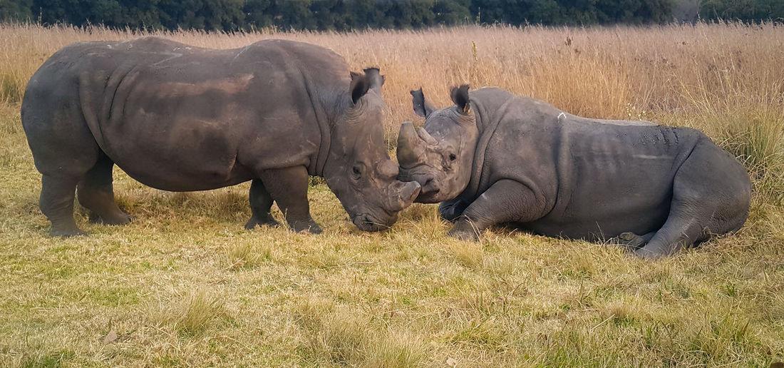 Wildlife Wildlife & Nature Wildlife Photography Wild Animal Endangered Species Endangered Animals Endangred Rhino Rhinopoaching Rhino Close Up Krugernationalpark Krüger National Park  Safari Animals Young Animal Rhinoceros Horned Krüger National Park