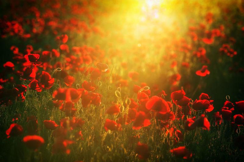 Red flowering plants on field against orange sky