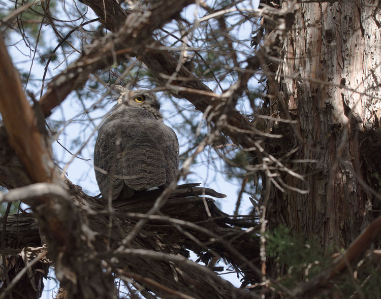 A resident great horned owl keeps watch over the campers during the eclipse of 2017. Bird Photography Great Horned Owl Animal Themes Animal Wildlife Animals In The Wild Beauty In Nature Bird Branch Close-up Day Low Angle View Nature No People One Animal Outdoors Owl In The Daytime Perching Predator Predators Tree