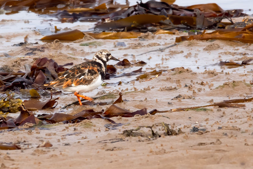 Turnstone displaying perfect shoreline camouflage Tideline Turnstone Animal Animal Themes Animal Wildlife Animals In The Wild Beach Bird Camouflage Day Nature No People Outdoors Selective Focus Shorebird Shoreline Vertebrate Wader Water