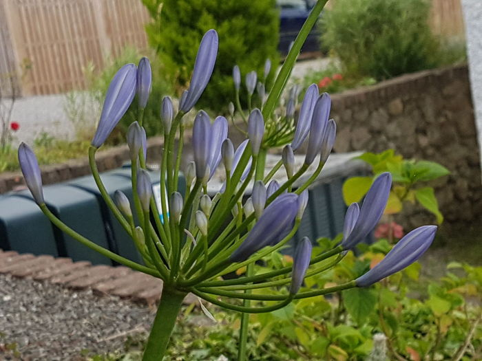 African Lily up