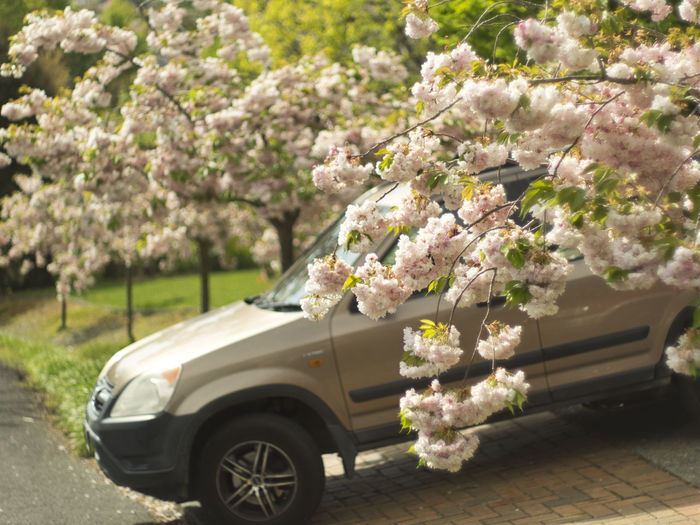 Spring is here! Cherry Tree Flower Head Outdoors Motor Vehicle Branch Car Land Vehicle Cherry Blossom Mode Of Transportation Day Springtime Blossom Growth Freshness Transportation Tree Nature Beauty In Nature Plant Flowering Plant Flower Vintage Lens Super Takumar 50mm F1.4