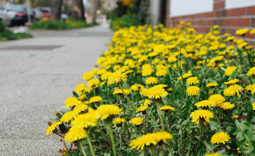Yellow Flower Flowering Plant Plant Fragility Vulnerability  Freshness Growth Focus On Foreground Beauty In Nature Day Close-up Nature Road Selective Focus Petal Street City Flower Head Inflorescence Springtime Outdoors No People Pictureoftheday