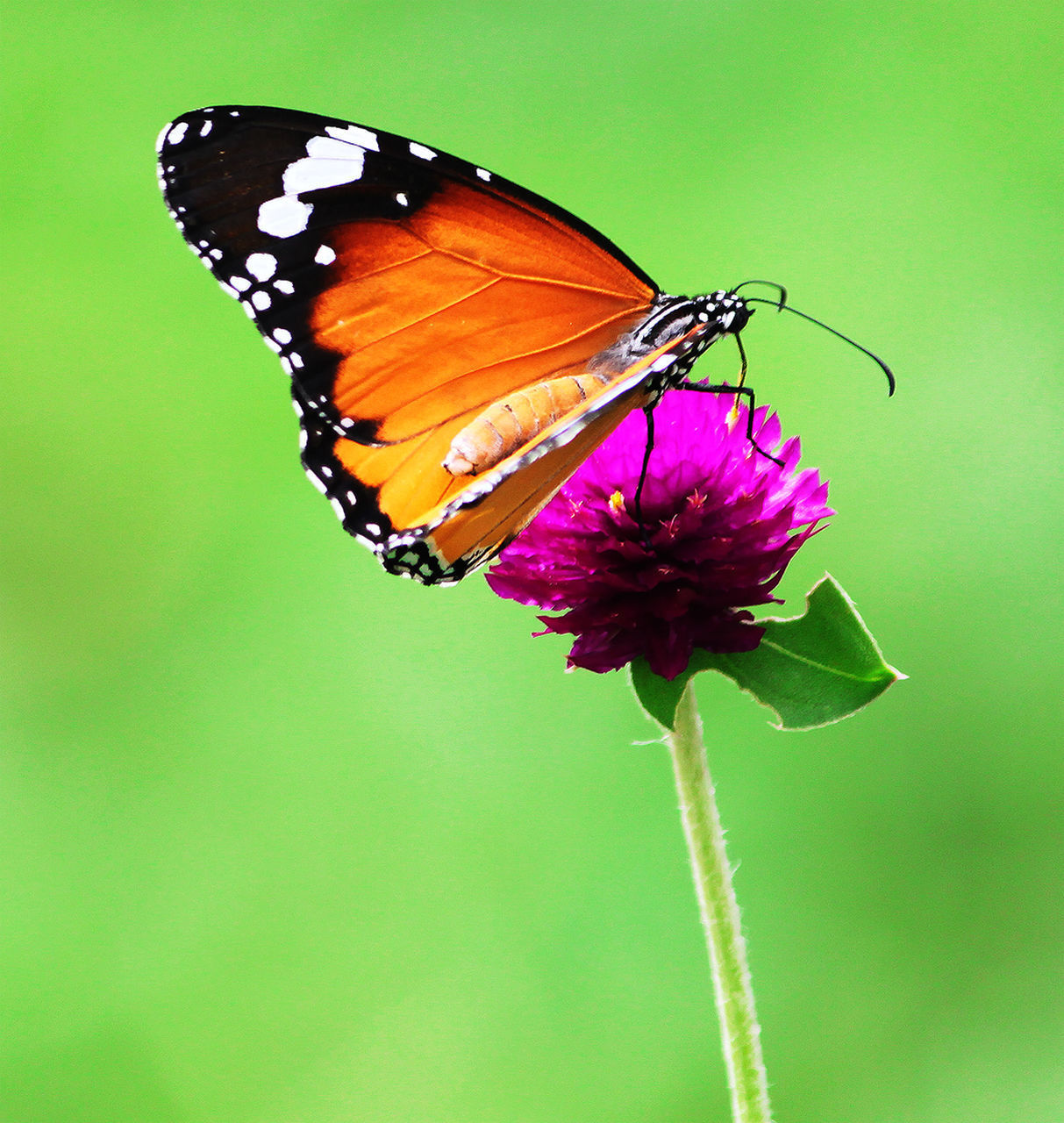 insect, butterfly - insect, animal wildlife, animal wing, flower, beauty in nature, animal themes, invertebrate, animal, one animal, animals in the wild, plant, flowering plant, vulnerability, fragility, close-up, nature, petal, freshness, growth, no people, flower head, pollination, purple, butterfly, outdoors