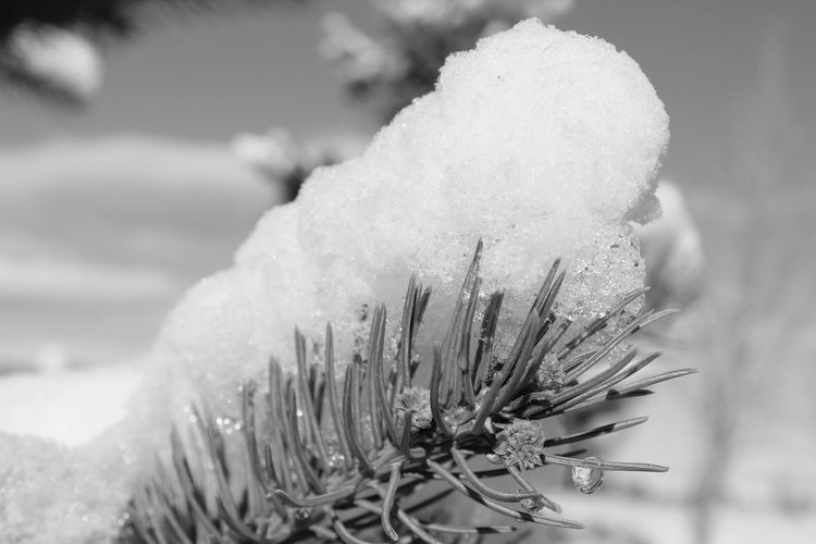 Snowy Tree Cold Weather Cold Day Cold Temperature Tree Branch  Close-up Nature White Color Cold Temperature Snow Winter Beauty In Nature Day Ice Focus On Foreground Outdoors No People Growth Plant