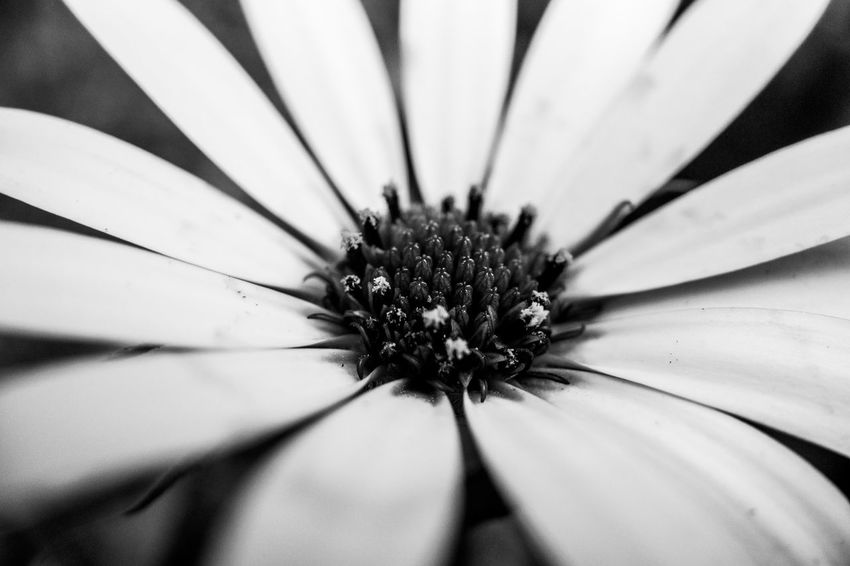 Flower close up Monochrome Black And White Light And Shadow Close-up Flower Flowering Plant Plant Inflorescence Growth Flower Head Petal Beauty In Nature Pollen Freshness Focus On Foreground White Color Day Nature Fragility Vulnerability  Full Frame