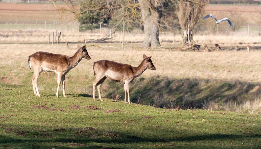 Deer Outdoors Nature Animal Themes Mammal Animal Wildlife No People Animal Herbivorous Two Animals Side View Vertebrate Standing Selective Focus