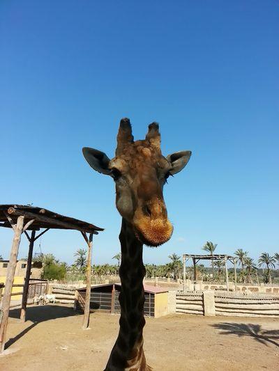I'm tall One Animal Giraffe Girafa Giraffe Head Africa