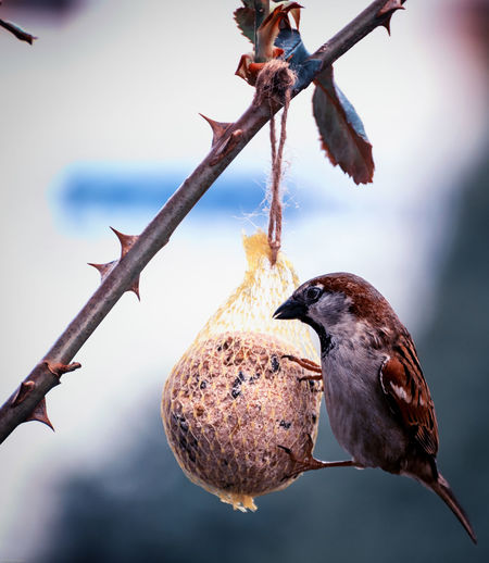 Close-up of sparrow perching on bird feeder