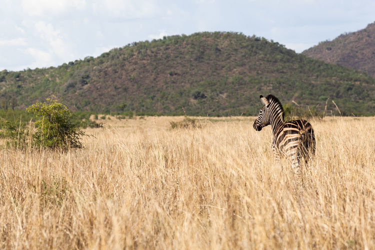 View of giraffe on field against mountain