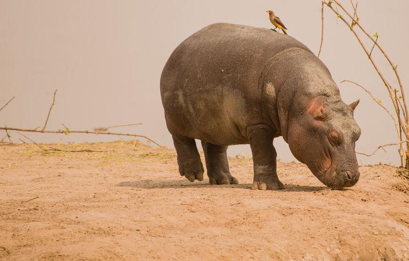 Close-Up Of Hippopotamus At Lake