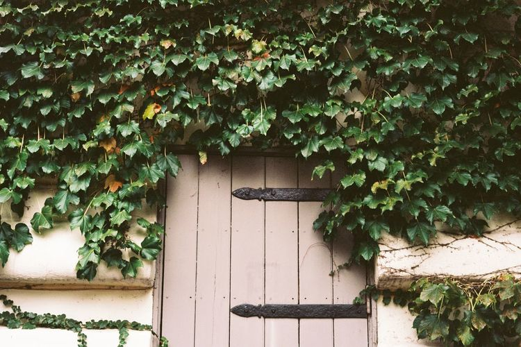 Ivy growing on house