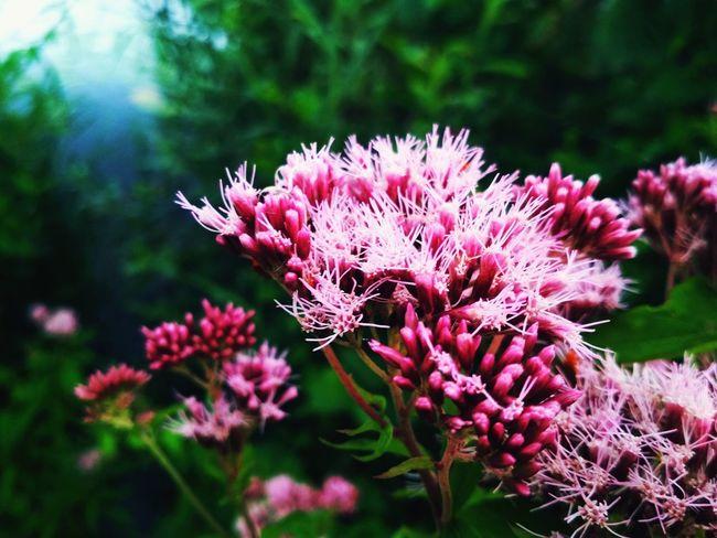 Flower Head Flower Pink Color Purple Springtime Close-up Plant