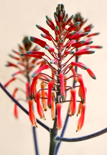 Close up of an Aloe plant's flowers. Aloe Aloe Flower Beauty In Nature Cable Close-up Day Decoration Flower Flowering Plant Focus On Foreground Growth Indoors  Nature No People Plant Plant Stem Red Selective Focus Sharp Still Life Studio Shot Tubular Wall - Building Feature