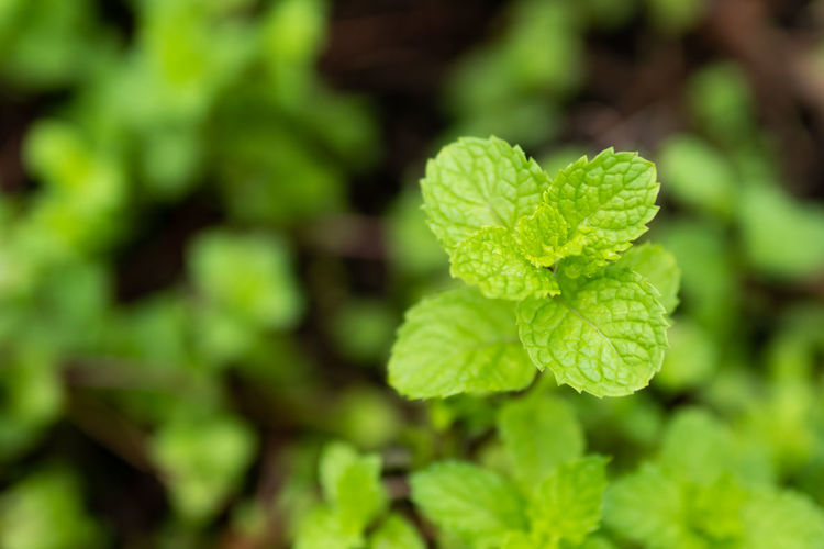 Kitchen Mint Marsh Mint Beauty In Nature Close-up Day Focus On Foreground Food Food And Drink Fragility Freshness Green Color Growth Kitchen Land Leaf Leaves Mint Nature No People Outdoors Plant Plant Part Selective Focus Tranquility Vulnerability