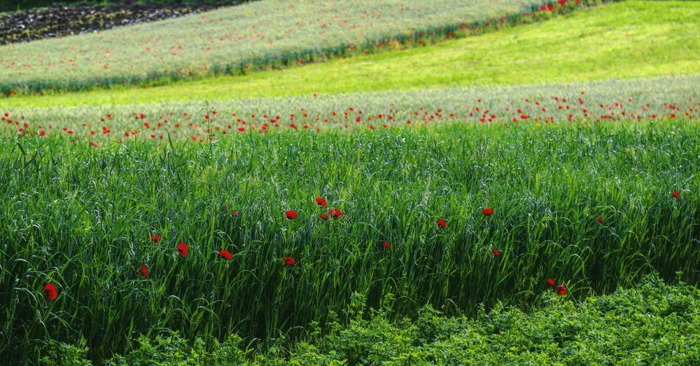 Countryside The Great Outdoors Taking Photos Feeling Creative EyeEm Best Shots EyeEm Nature Lover Nature Freshness Oat Field Growth Relaxing View Flower Poppy Red Rural Scene Field Agriculture Springtime Wildflower Uncultivated Blooming In Bloom