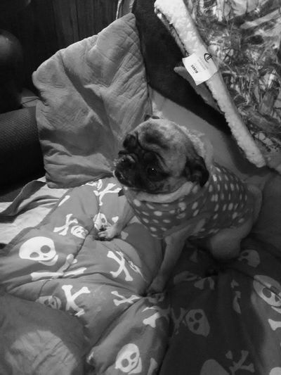 Pets One Animal Domestic Animals Animal Themes Pet Clothing Indoors  Dog Pug 2017newphotos Check This Out 😊 Hello World ✌ Michigan Up North Cheerful Going For A Ride  Exsited Home Interior Canine My Point Of View Happiness Night Out 2017 Cute Dog