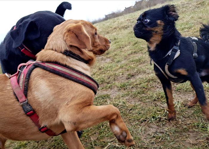 Labrador Labrador Retriever Puppies Puppy Griffonbrabancon Griffon EyeEm Selects Dog Pets Domestic Animals Mammal Animal Themes Pet Collar Day