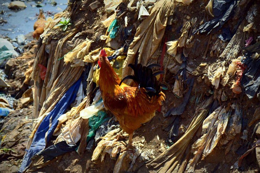 Adapted To The City Chicken Chicken - Bird Animal Bird Livestock Life Kenya Nairobi Kibera Kibera Slum Slum Waste Gabbage