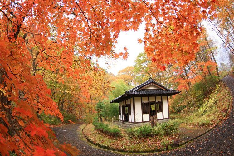 紅葉 Autumn Tree