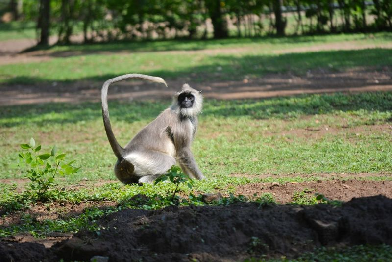 #Monkey#Forest#sunny Monkey Tail Tail Monkey Bend Tail Monkey Mokey Tail Bend Indian Monkey Forest Monkey Monkey Forest Monkey Grass Grass Monkey Forest Monkey Monkey Green Monkey Pose Tail Grass The Great Outdoors - 2018 EyeEm Awards The Traveler - 2018 EyeEm Awards The Still Life Photographer - 2018 EyeEm Awards EyeEmNewHere Creative Space