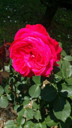 Red rose #flower#garden#nature#ecuador#santodomingoecuador#eyeEmfollowers#iphoneonly#nofiltrer#macro_garden#pretty#beautiful#followme#sho #Garden #rose #flower #nature #blackandwhite Beauty In Nature Rose - Flower Single Rose
