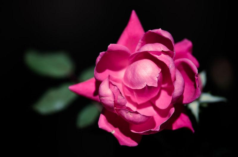 Close-up of pink rose blooming at night