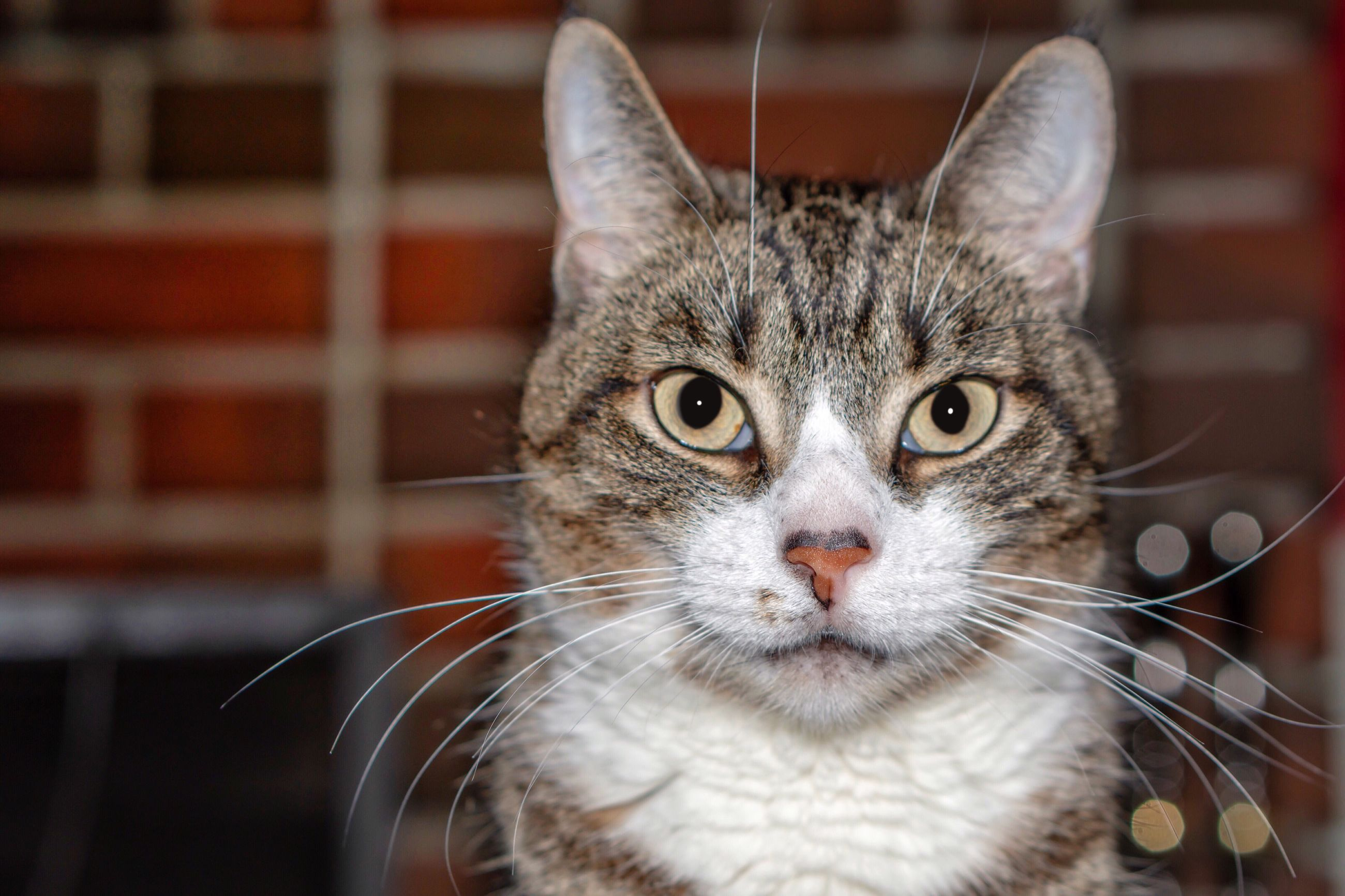 cat, one animal, domestic cat, mammal, pets, domestic, feline, domestic animals, whisker, vertebrate, portrait, looking at camera, close-up, focus on foreground, no people, animal body part, animal eye, yellow eyes, tabby, snout