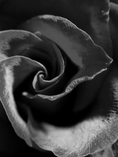 B&w B&wphotography B&w Flowers B&W Rose Olloclip Macro Macro_collection Macro Photography Olloclip_macro Olloclip