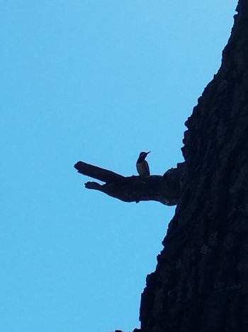 A baby woodpecker. Blue Sky Animal Nature One Animal Clear Sky Woodpecker In Tree Woodpecker Visual Creativity