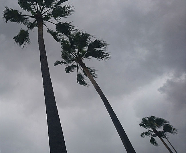 Beauty In Nature Cloud - Sky Day Growth Low Angle View Nature No People Outdoors Palm Frond Palm Tree Palm Trees In The Wind. Scenics Sky Tranquility Tree Tree Trunk