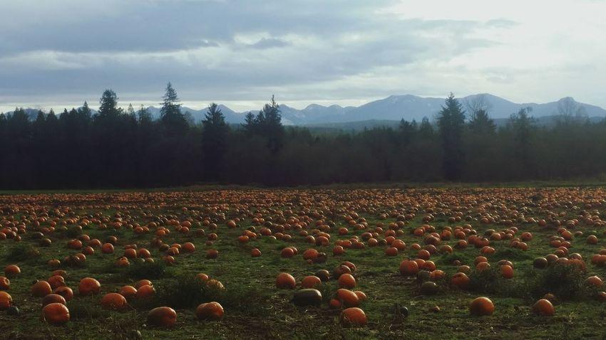 Pumpkins left in the field after harvest. Pumpkins Pumpkinpatch Left Behind Unwanted Fall