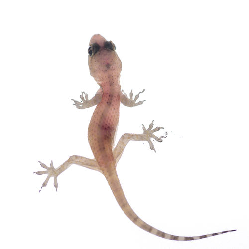 Close-up of lizard on white background