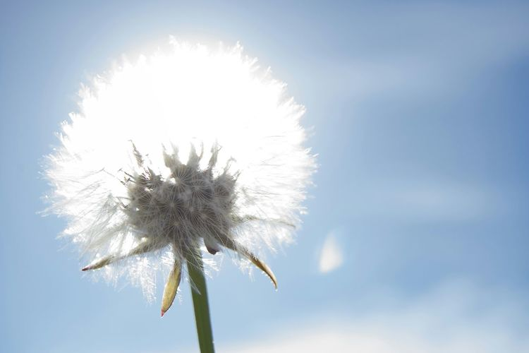 Flowers Flowers, Nature And Beauty Flower Flower Collection Flowers,Plants & Garden Flower Photography Blue And White Backlight Backlighting Dandelion Dandelions Dandelion Collection Dandelion Flowers Dandelion In Spring Dandelion Flower Dandelion Seed Dandelion Close-up Dandelion Head White Flowers