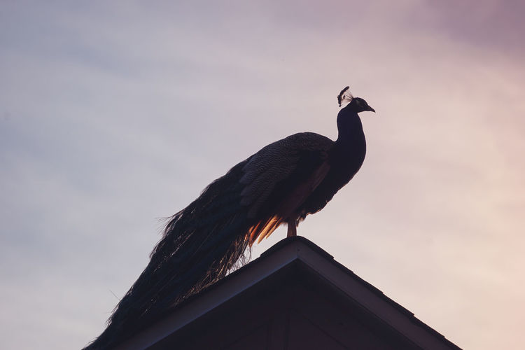 Low angle view of peacock perching against sky