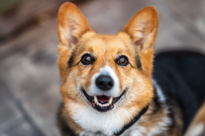 Close-up portrait of dog sticking out tongue outdoors. corgi
