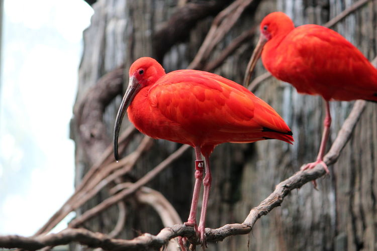 Animal Themes Bird Animal Animals In The Wild Red Animal Wildlife Tree Vertebrate Perching Group Of Animals Focus On Foreground Day No People Branch Nature Plant Two Animals Close-up Ibis Outdoors