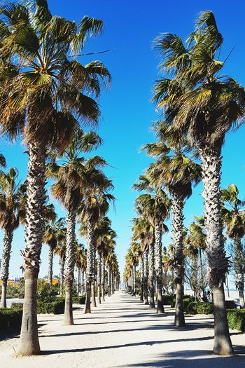 Las palmeras Vacations Weekend Spring Springtime Marina Beach Beachphotography Palmeras Palms Trees Fallas 2019 Fallas Las Fallas València SPAIN Tree Clear Sky Blue Sky Tree Trunk Empty Road Tranquility Growing