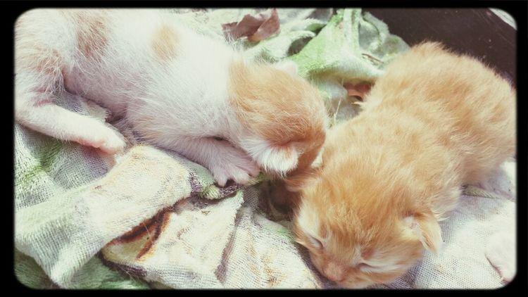 Sleepy Kitty Cute Kitten Kittens Cuddlin Kittens