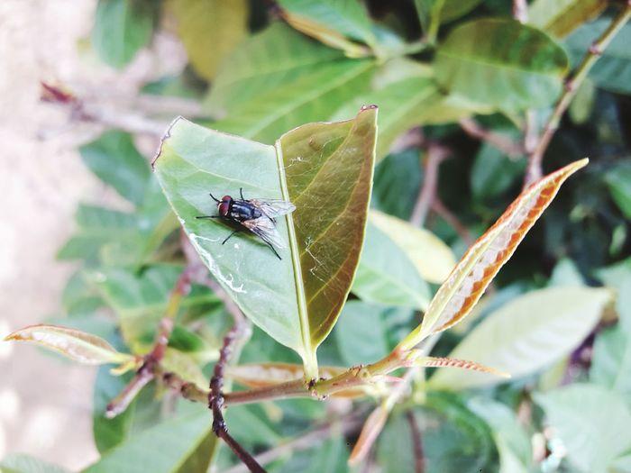 แมลงวัน Leaf