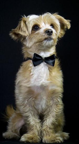 Animal Canino Caninos Dog Dog, Animal, Man's Best Friend, Fu, Tail, Pouch, Doggy Doggy Fotografia Perro Estudio Maltese Dog Nice Dog Perro