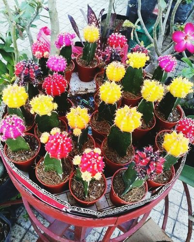Cactus Multi Colored Cactus Flower The Inside Out 🌵🌵🌵🌵🌵