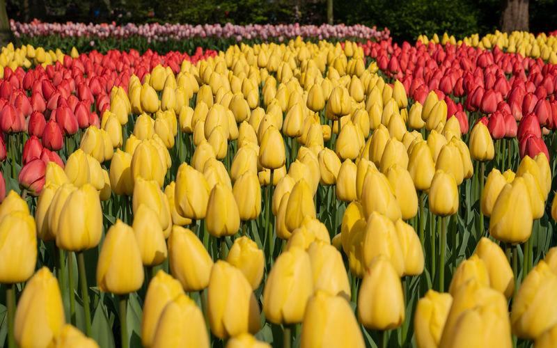 Yellow tulips in market