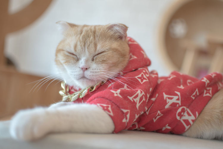 Domestic Pets Domestic Animals Mammal Animal Themes Animal Cat Relaxation Domestic Cat One Animal Feline Indoors  Focus On Foreground Sleeping Eyes Closed  Furniture Close-up Vertebrate Resting No People Whisker Animal Head  Napping
