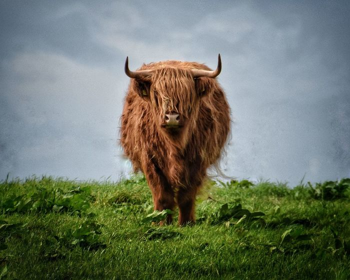 Grass Mammal Livestock Animal Themes One Animal Cow Highland Cattle Domestic Animals No People Nature Standing Outdoors Day Cowlover Cow Cowsofinstagram Cows Cows Of Eyeem Animal_collection Animal Wildlife Animal Photography Ireland Photography Beauty In Nature Nature